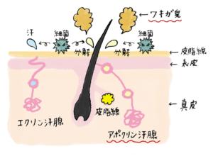 アポクリン腺とエクリン腺の説明図